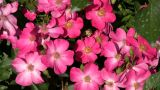 Beautiful Wild Prairie Roses Gently Sway In Wind (High Definition) stock footage