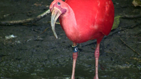 Closeup of a Scarlet Ibis Stock Video Footage