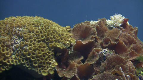 Coral is gently swaying in the water Footage