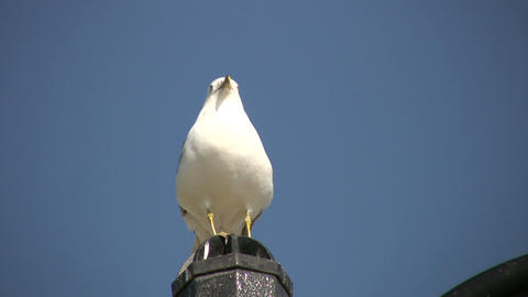 Seagull is perched on fence post, looking around (High Definition) Footage
