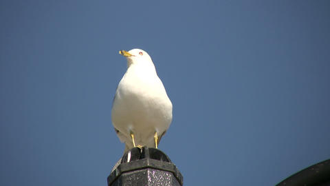 Seagull is perched on fence post, looking around (High... Stock Video Footage