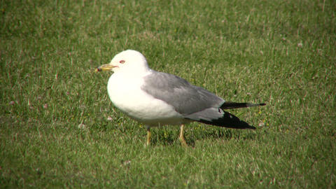 Seagull is resting on the grass, looking around (High Definition) Footage