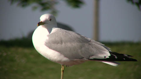 Seagull casually looks around as it rests (High Definition) Footage