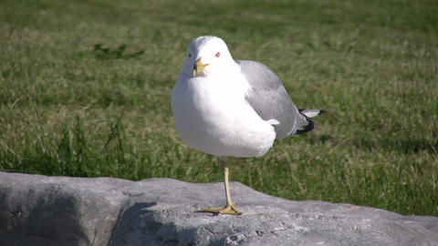 Seagull rests on one foot while looking around (High Definition) Live Action