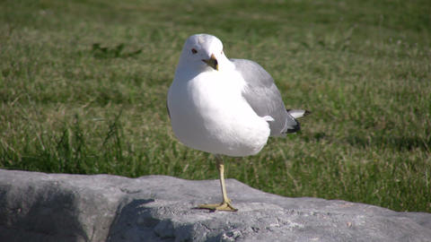 Seagull rests on one foot while looking around (High... Stock Video Footage