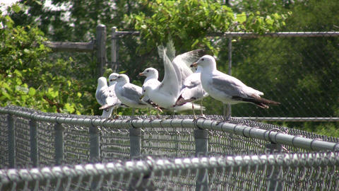 Group of seagulls are resting on a fence (High Definition) Footage