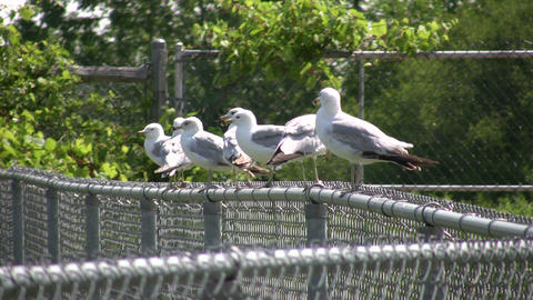 Group of seagulls are resting on a fence (High Definition) Stock Video Footage