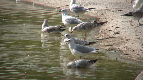 Some Seagulls are grooming and hanging out in the water Footage