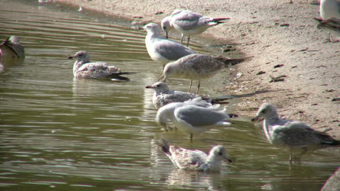 Some Seagulls are grooming and hanging out in the water Stock Video Footage