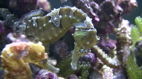 Close-up of a Caribbean Seahorses relaxing in the water Stock Video Footage
