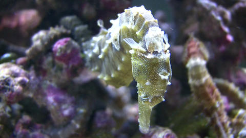 Close-up of a Caribbean Seahorses relaxing in the water Footage