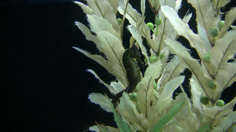 Longsnout Seahorse rests in some plants Stock Video Footage