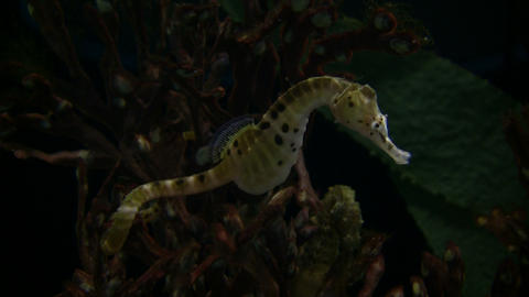 Potbelly Seahorse is hanging out in the dark water Stock Video Footage