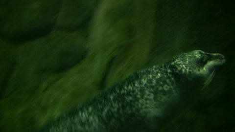 Harbor Seal swims through the murky water Stock Video Footage