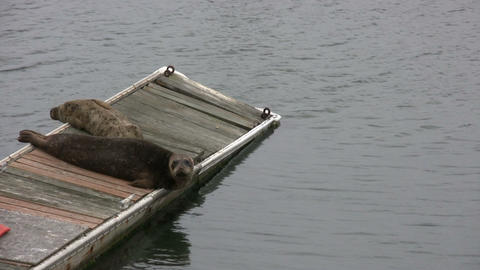 Some seals are resting on dock in San Francisco Bay Stock Video Footage