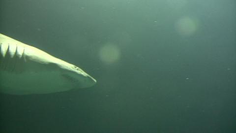 Shark swims through the murky water Stock Video Footage