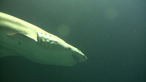 Shark swims through the murky water Footage
