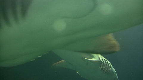 Shark swims through the murky water Stock Video Footage