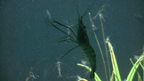 Giant Malaysian Prawn is swimming upwards in water Stock Video Footage