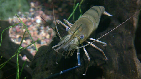Giant Malaysian Prawn is resting on a log underwater Footage