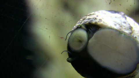Closeup of snail moving along the glass, looking for food Live Action
