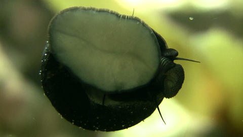 Closeup of snail moving along the glass, looking for food Stock Video Footage