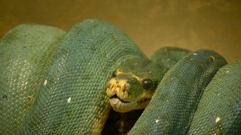 Closeup of a coiled up snake Stock Video Footage