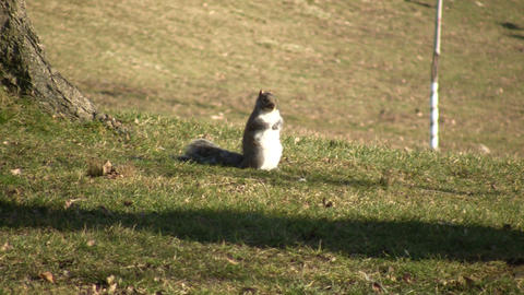 Squirrel 01A (High Definition) Stock Video Footage