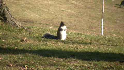 Squirrel 01A (High Definition) Footage
