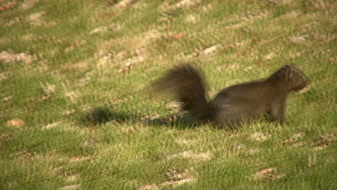 Squirrel quickly moves across grass on sunny day (High Definition) Footage