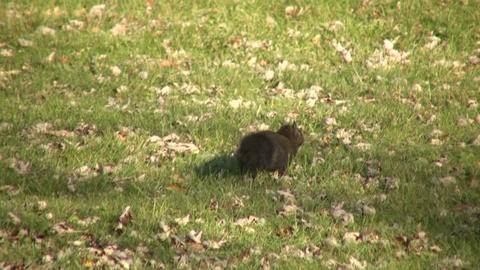 Squirrel quickly moves across grass on sunny day (High... Stock Video Footage