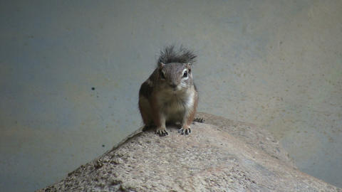 Antelope Ground Squirrel is resting on a rock Footage