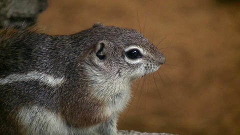Closeup of an Antelope Ground Squirrel Footage