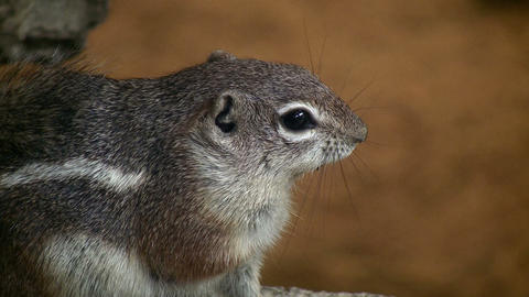Closeup of an Antelope Ground Squirrel Stock Video Footage
