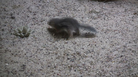 Antelope Ground Squirrel sits in the sand Stock Video Footage