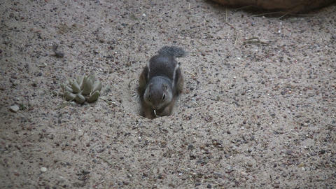 Antelope Ground Squirrel sits in the sand Footage