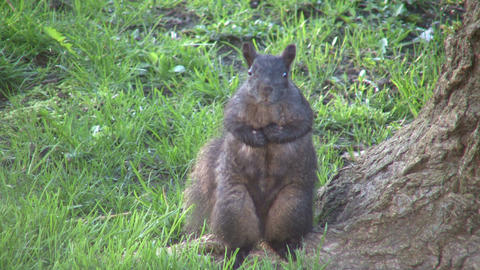 Squirrel is sitting upright, staring into the camera... Stock Video Footage