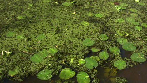 Lily pads float quietly in a swamp on sunny day Stock Video Footage