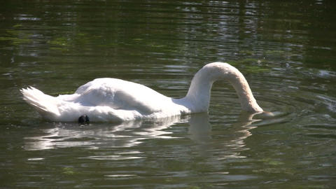 White swan dips head in water (High Definition) Footage