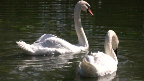 White swan dips head in water (High Definition) Stock Video Footage