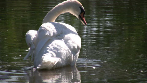 White swan grooms itself (High Definition) Stock Video Footage