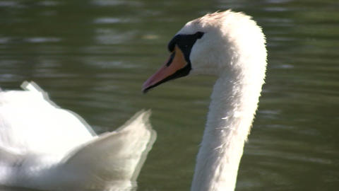 White swan close up (High Definition) Stock Video Footage
