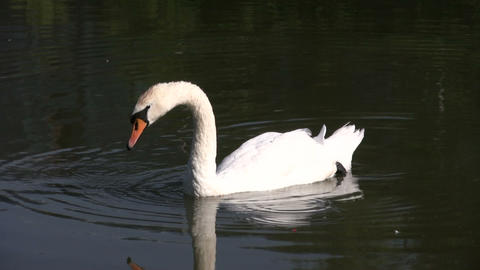 White swan gracefully swimming (High Definition) Stock Video Footage