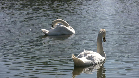 Two white swans (High Definition) Stock Video Footage