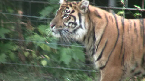 Sumatran Tiger Footage