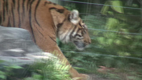 Prowling Sumatran Tiger Stock Video Footage
