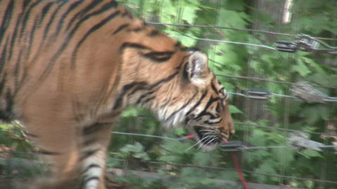 Prowling Sumatran Tiger Footage