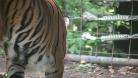 Prowling Sumatran Tiger Stock Video Footage
