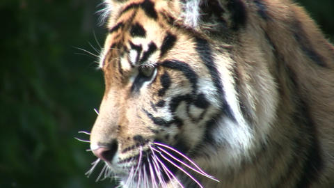 Closeup of a Sumatran Tiger Stock Video Footage