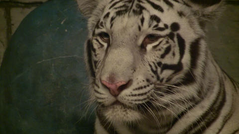 Close-up of a beautiful White Tiger Stock Video Footage